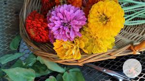 zinnias as cut flowers ornamental cut flower gardening youtube