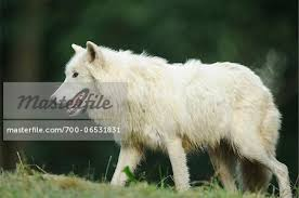 side view of white arctic wolf walking canis lupus arctos