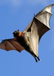 adopt a bat wildlife adoption and gift center