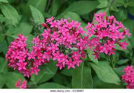 pentas flower pink pentas flower stock photos pink pentas flower stock images