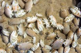 How Long Do Fleas Live In Carpet 6 Fast Ways To Prevent Sand Flea Bites On Humans And Dogs Pestwiki