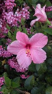 118 best hibiscus images on pinterest hibiscus flowers flowers
