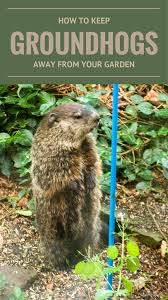 how do you keep groundhogs out of garden home outdoor decoration