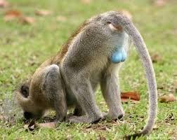 Baboon Meme - blue balls baboon meme generator