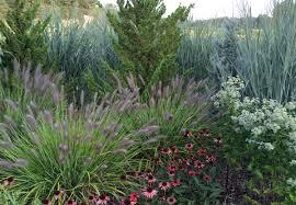 dig deeper into grass pennisetum