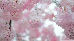 cherry blossom depth of field hd desktop wallpaper high