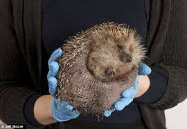hedgehog is put on diet after becoming too fat to carry on living