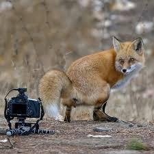 Fox Meme - create meme fox approachibility fox approachibility fox fox