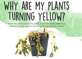 Why Are My Plants Turning by Why Do Plants Turn Yellow U2013 And What To Do About It Blog