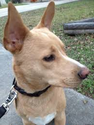 jack russell american pitbull terrier mix american smooth fox terrier pitbull mix staffordshire jack russell