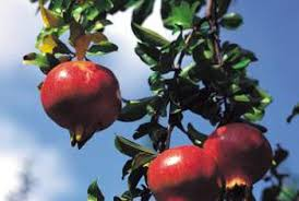 everything to about pomegranate trees home guides sf gate