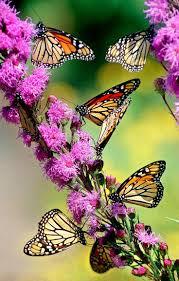 138 best butterflies images on pinterest beautiful butterflies
