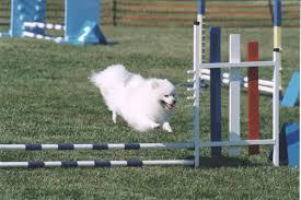 american eskimo dog energy level eskie characteristics
