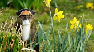 monkey flowers monkey flower wallpaper