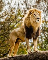 male lion wallpapers lion wallpapers fantasy hq lion pictures 4k wallpapers