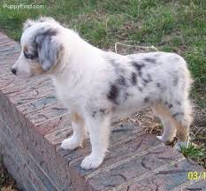 australian shepherd 14 weeks best 20 toy aussie ideas on pinterest aussie puppies toy