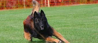 belgian shepherd 4 types dog lovers blog page 37 of 39 pet paw