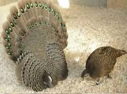 2 grey peacock pheasant hatching eggs for sale shipping now
