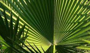 palms for palm sunday why do we use palm branches on palm sunday fallible blogma