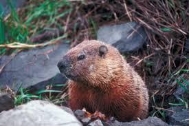 natural ways rid groundhogs hunker