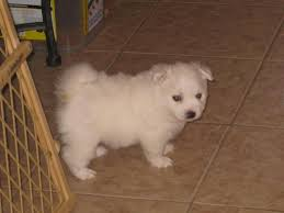 american eskimo dog houston 24 best animals our dogs images on pinterest photos american
