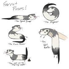 Ferret Meme - ferret poses hehe especially the wet noodle ferret stuff