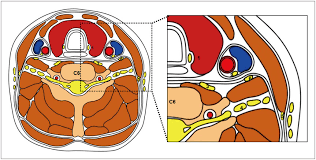 Neck Cross Sectional Anatomy Koreamed Synapse