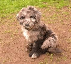 australian shepherd standard aussiedoodle australian shepherd and poodle mix spockthedog com