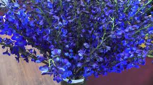 delphinium flowers blue delphinium flowers