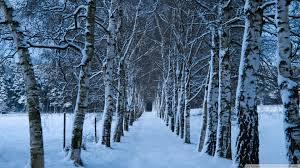 birch tree wallpaper 1920x1080 55043