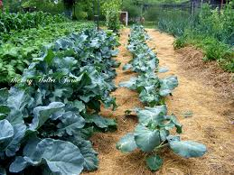 What Kind Of Mulch For Vegetable Garden by Hickery Holler Farm No Till Gardening And Heavy Mulch
