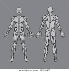 Anatomy Of Body Muscles Anatomy Male Muscular System Exercise Muscle Stock Vector
