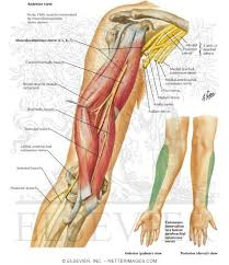 Bicep Innervation Musculocutaneous Nerve