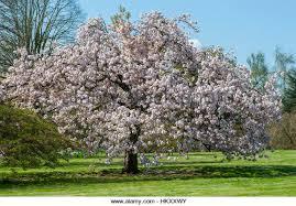 Flowering Cherry Shrub - flowering cherry tree prunus matsumae stock photos u0026 flowering