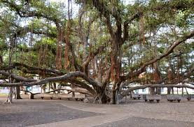what trees wide canopies with pictures