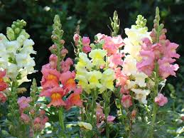 snapdragon flowers snapdragons make flowers but when they die they turn into