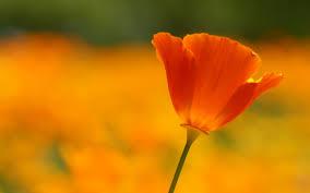 poppy flower summer close up 6944196