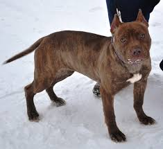 american pit bull terrier brindle chocolate brindle pit bull pictures good pit bulls