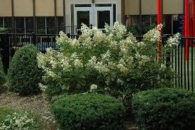 bulk hydrangeas hydrangea hydrangea paniculata bulk in milwaukee
