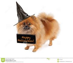 pomeranian witch carrying happy halloween sign stock photo image