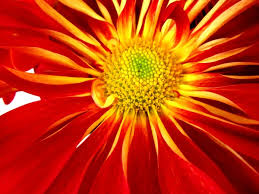 Picture Of Mums The Flowers - rover mum red disbuds mums chrysanthemum flowers by category
