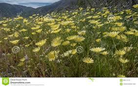 Flowers Anza Borrego Wild Flowers Anza Borrego Desert State Park California Stock Photo