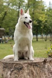 australian shepherd 7 wochen the 25 best schweizer schäferhund ideas on pinterest white