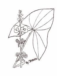 sagittaria latifolia jessica
