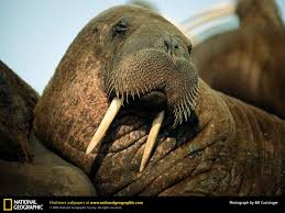 walrus picture walrus desktop wallpaper free wallpapers