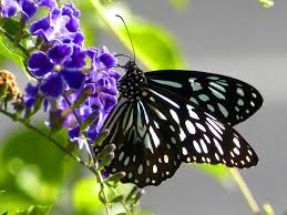 file blue tiger butterfly australia jpg wikimedia commons