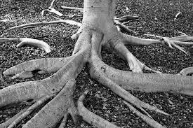 how wide do tree roots spread deeproot