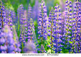 purple and blue flowers lupines stock images royalty free images vectors
