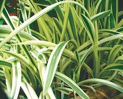 Tropical Aquatic Plants - buy variegated spider lily