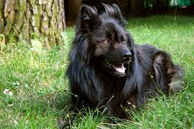 belgian shepherd labrador retriever mix belgian sheepdog dog breed information pictures characteristics